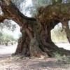 España malvende sus árboles centenarios