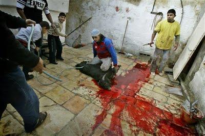 Animales como el de la imagen son brutalmente asesinados siguiendo el rito 'halal'.
