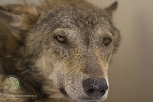 El lobo Navarre.