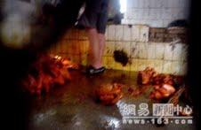 Una trabajadora china utiliza zapatillas abiertas mientras camina por entre los pollos antes del proceso de coloración.