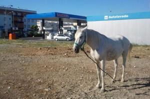 Uno de los caballos abandonados en un solar público de Jerez.