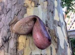 .Una lengua de vaca cosida de alfileres de vudú y colgada de un árbol.
