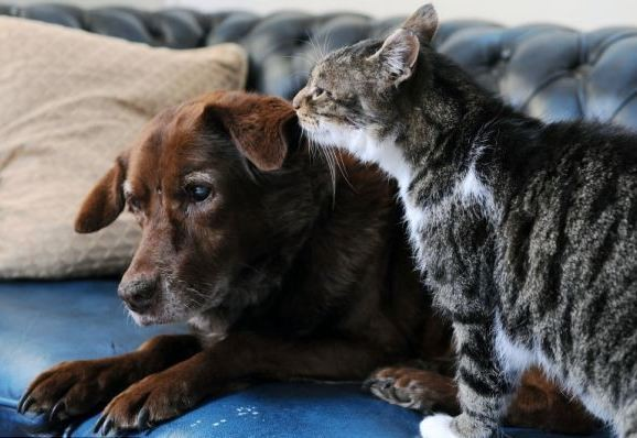 Gato lazarillo lamiendo la oreja del perro ciego