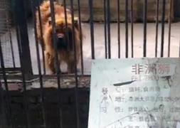 Un supuesto 'león' del zoo chino.