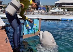 Una ballena blanca pinta un cuadro en el acuario de Yokohama.