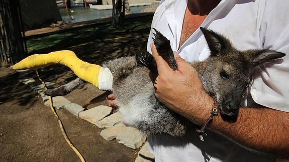El marsupial atacado se recupera de la agresión en el propio parque.