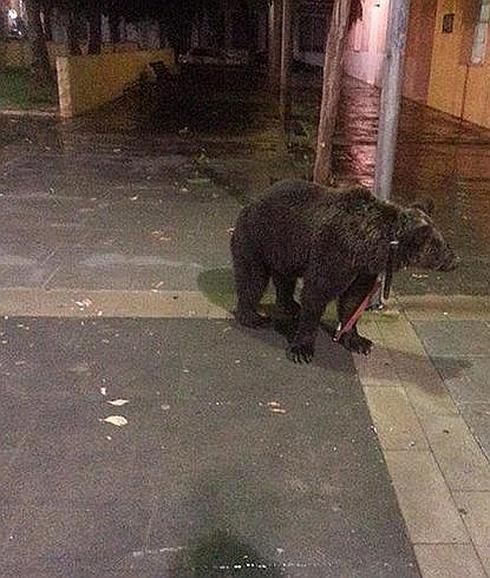 El oso, atado a una farola de la localidad valenciana de Cárcer.