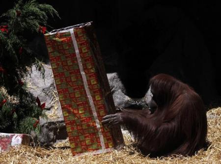 En la imagen de archivo, la orangután Sandra mira dentro de un regalo de Navidad en el zoológico de Buenos Aires.