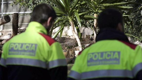 Agentes de Policía observan a los leones.