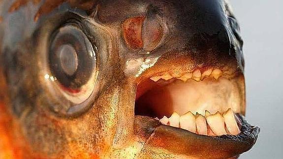 El Pacú es conocido como el pez 'muerde testículos'