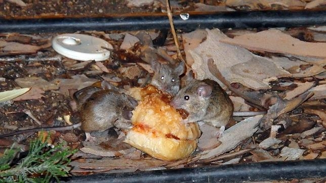 Ratones fotografiados por un vecino en Tirso de Molina este mes