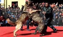 Las peleas de perros son las más comunes en China. A los animales los drogan y los encadenan.