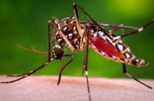 Un mosquito hembra del tipo Aedes Aegypti que transmite el virus Zika.