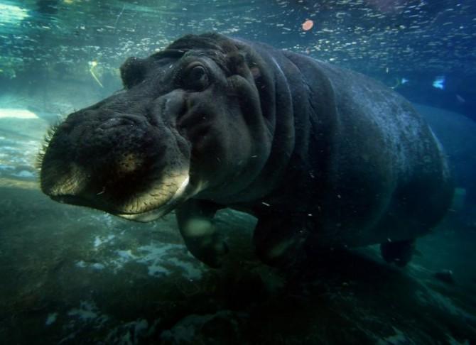 Un hipopótamo nada en el zoológico de San Diego, California, el 13 de enero de 2015