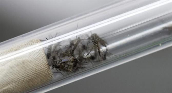 """Mosquitos """"Aedes aegypti"""", transmisores del virus del Zika y el dengue."""