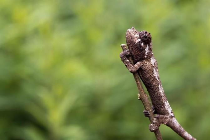 Un camaleón con tres cuernos se agarra a una rama.