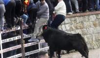 Uno de los toros del encierro urbano del Carnaval del Toro de Ciudad Rodrigo (Salamanca) celebrado ayer, con reses de la ganadería de Badajoz de Luis Terrón, acorrala contra las talaqueras a uno de los mozos.