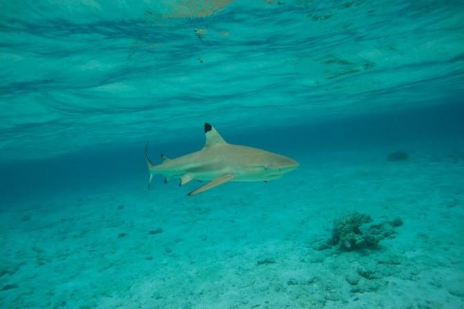Un tiburón de puntas negras el 3 de diciembre 2015 en la isla de Bora Bora