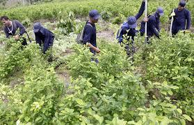 Cultivo de drogas en Colombia.
