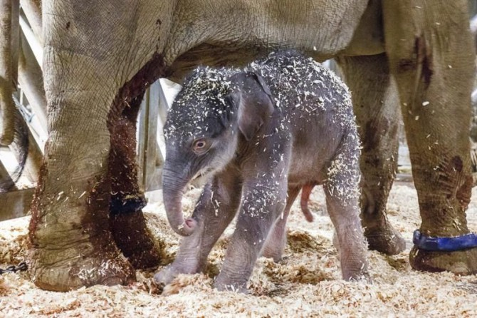 """Fotografía facilitada por el zoo de Praga que muestra a una cría de elefante junto a su madre """"Janita"""" hoy, 5 de abril de 2016."""