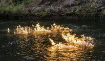 Fotografía tomada el 12 de abril y distribuida el día 24 por el partido verde australiano New South Wales del incendio que prendió su diputado Jeremy Buckingham en el río Condamine, en Queensland, para denunciar la presencia de gas metano en el agua