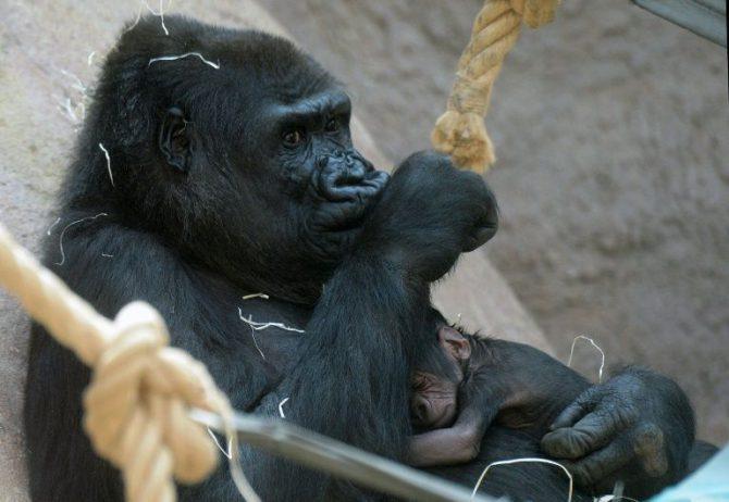 Una gorila con su bebé en el zoo de Praga.
