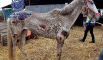 Fotografía facilitada por la Policía Nacional que ha arrestado a dos personas en la localidad de Vélez-Málaga por maltrato animal tras haber hallado en una finca 22 caballos y 4 perros desnutridos, enfermos y en estado de abandono.