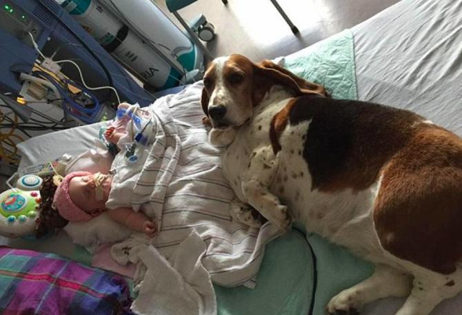Leales: uno de los basset hounds acostado en la cama de Nora en el hospital (Facebook).