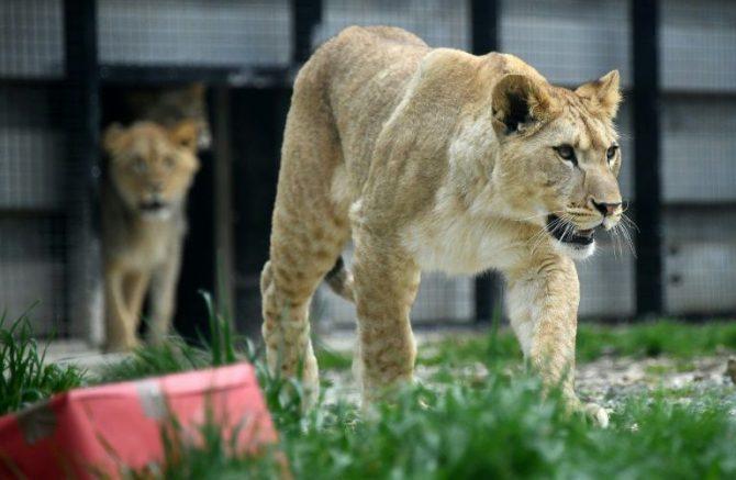 Un león africano sale de su jaula el 22 de abril de 2016 en un zoológico en París.