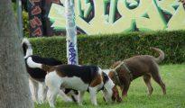 Tres perros husmean el césped de un parque de Valencia.