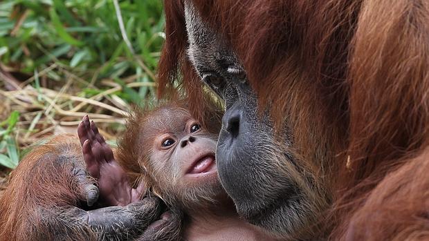 Rochale, una orangután de Sumatra de 41 años, sostiene a su cría en el Safari Ramat Gan, cerca de Tel Aviv (Israel)