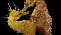 Los curiosos hábitos de apareamiento del caballito de mar