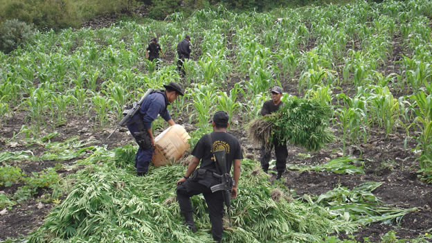 Cultivo de marihuana en México.