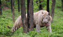 Un tigre en el Beijing Badaling Wildlife el 2 de junio de 2010 en las afueras de Pekín