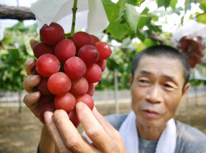 Un agricultor japonés muestra un racimo de uvas de la variedad 'Ruby Roman' en sus viñedos en la ciudad de Kahoku, en el norte de Japón.