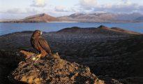 Un halcón de Eleonora otea el horizonte desde el islote de Montaña Clara, en el Parque Natural del Archipiélago Chinijo (Canarias), tras capturar una pequeña ave migratoria.