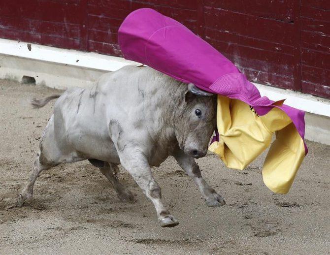 Un toro arremete contra un capote.