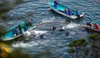 Durante la cacería anual de delfines en Taiji (esta imagen, en 2014), unos 1,000 delfines son sacrificados por su carne, y otros son seleccionados para venderlos a parques marinos.