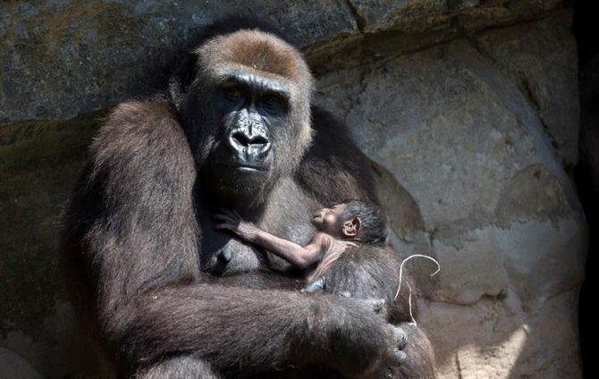 Entre las cuatro especies de grandes simios a punto de desaparecer se encuentra el primate más grande del mundo, el gorila oriental, cuya población ha sufrido un declive del 70 % en los últimos 20 años y hoy apenas llega a los 5.000 individuos.