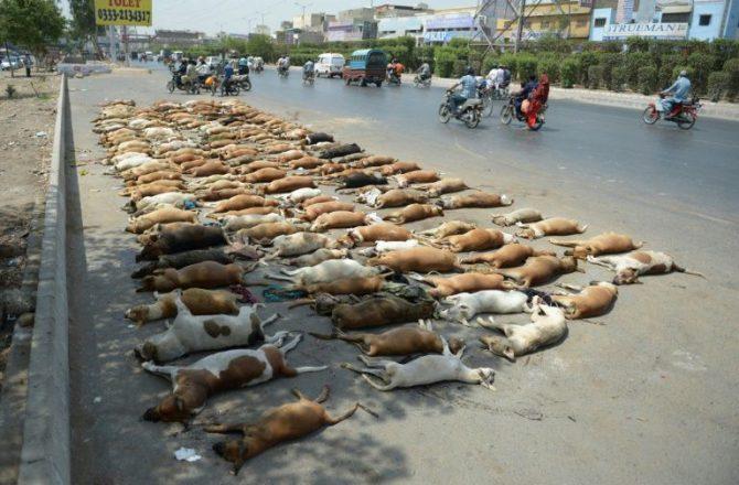 Cuerpos de perros alineados en una calle de Karachi el 12 de mayo de 2016