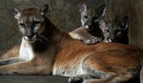 Dos pumas cachorros y su madre en el zoológico nacional de Nicaragua en el departamento de Masaya, el 25 de enero de 2012