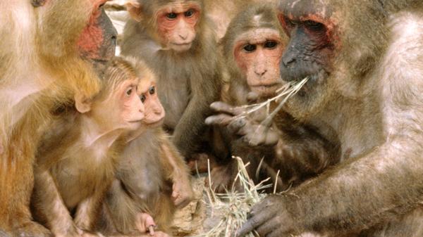 El macaco rabón tiene un báculo extremadamente largo en relación a su tamaño.