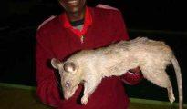 Una rata gigante de Sudáfrica como esta mató a la pequeña bebé de tres meses del distrito de Katlehong, Johanesburgo