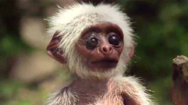Así era el mono espía de la BBC