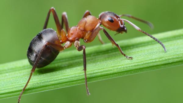 La mujer de 52 años murió por picaduras de cientos de hormigas venenosas