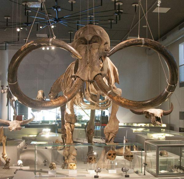 El esqueleto de un mamut en el museo de historia natural de Leiden, en Holanda