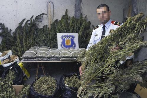Operación de los Mossos d'Esquadra contra una red que cultivaba marihuana