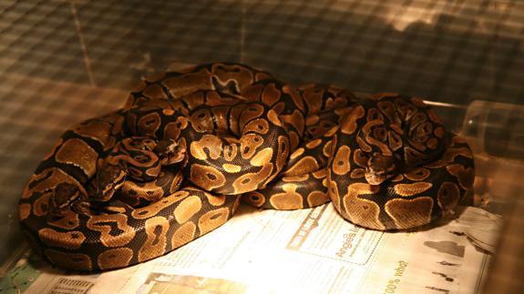 Una serpiente pitón.