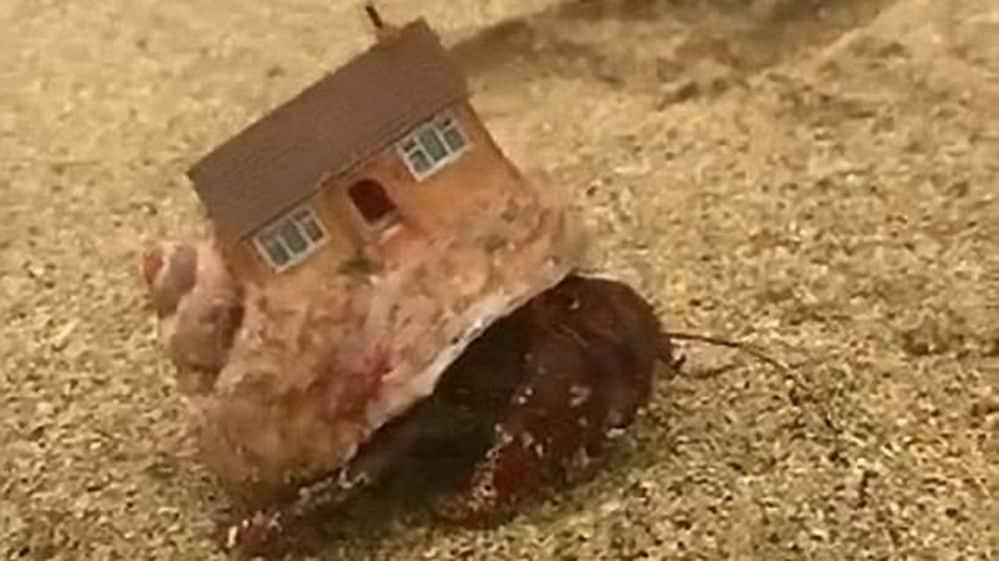 El extraño caparazón que adquirió un cangrejo de una playa de Costa ...