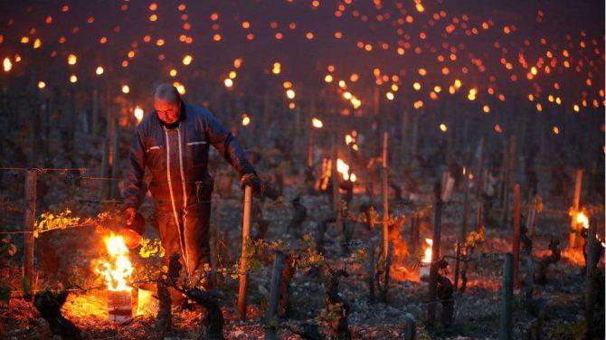 Trabajadores encienden antorchas usadas como calentadores para proteger la uva en Chablis, Francia